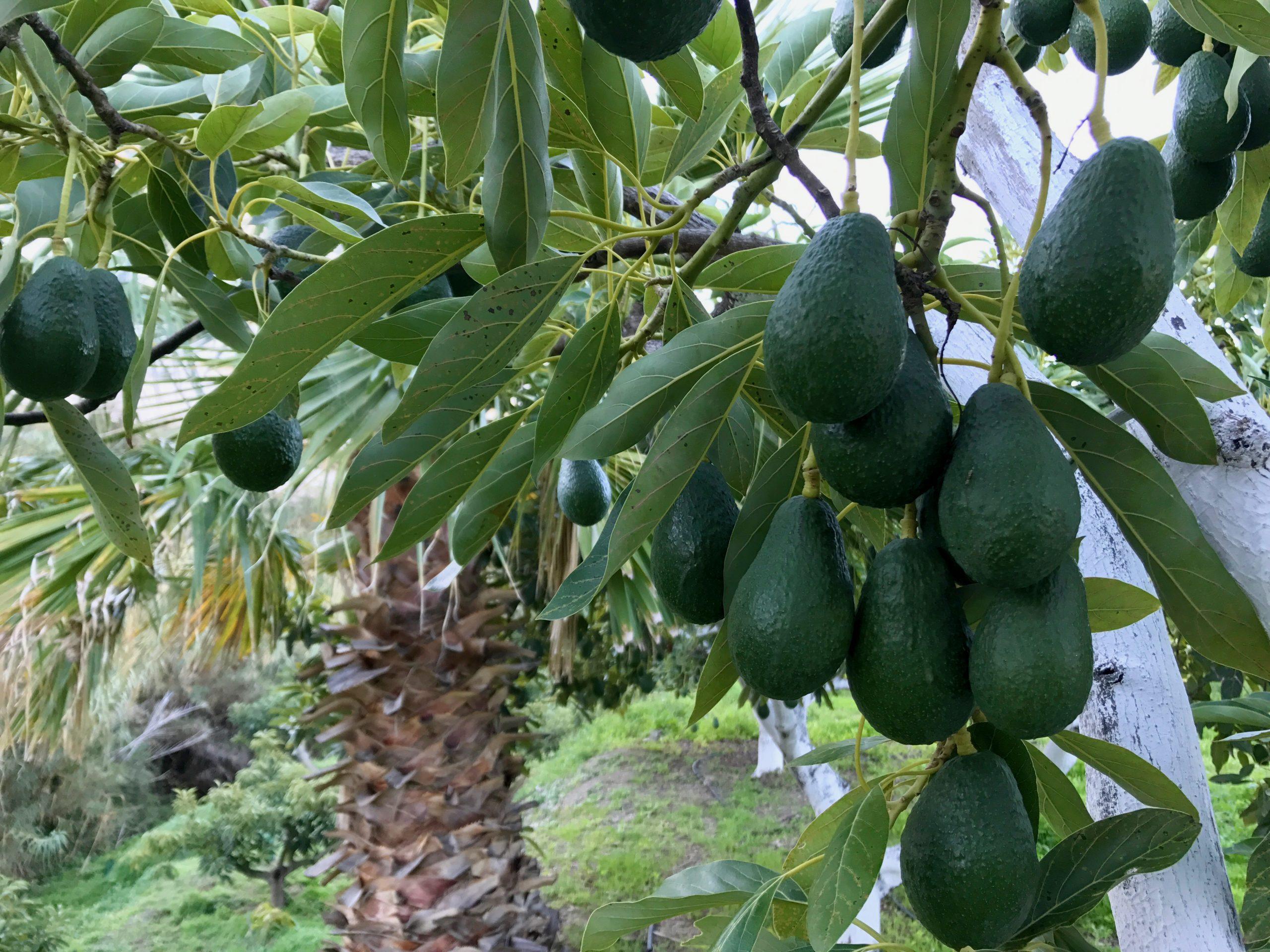 Avocados am Baum